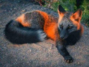 Ceci n'est pas un « renard de feu »