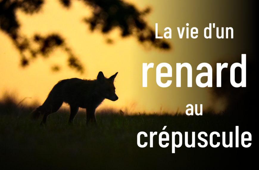 La vie d'un renard au crépuscule