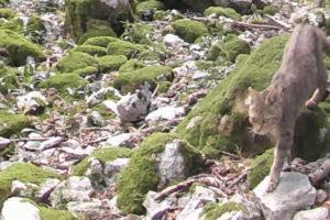 ALERTE PIPOU ! — Chat forestier